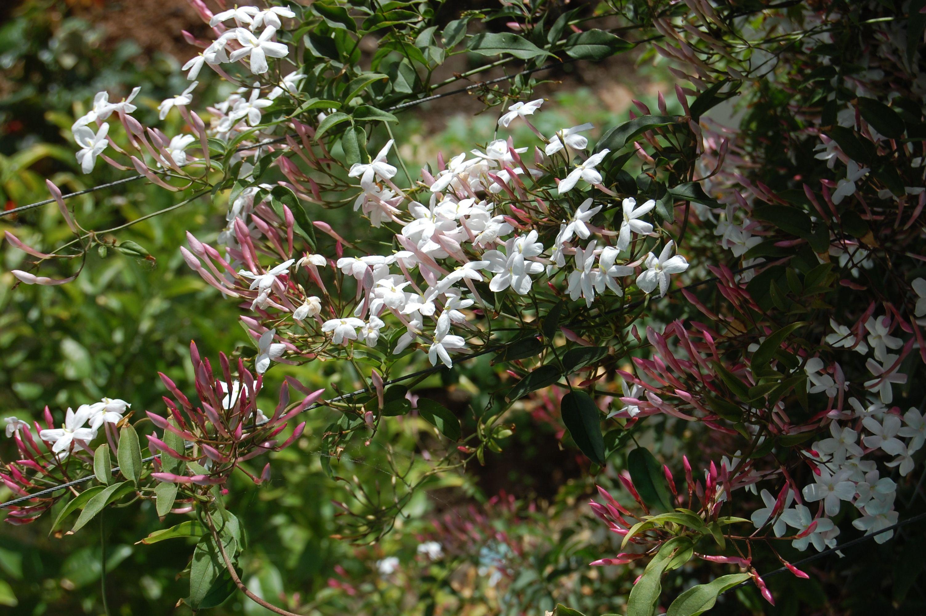 Plantas de az jasmim pots u plants pinterest a z jasmine