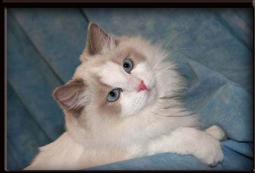 Rags2dazzle Ragdolls Breeder Of Beautiful Ragdoll Cats Kittens