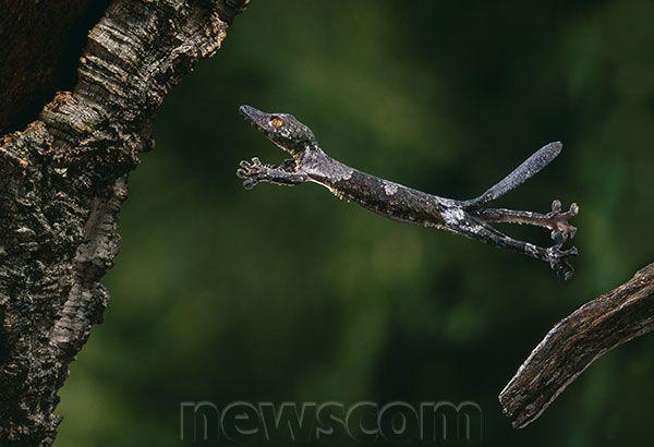 Jumping Gecko Satanic Leaf Tailed Gecko Gecko Lizard