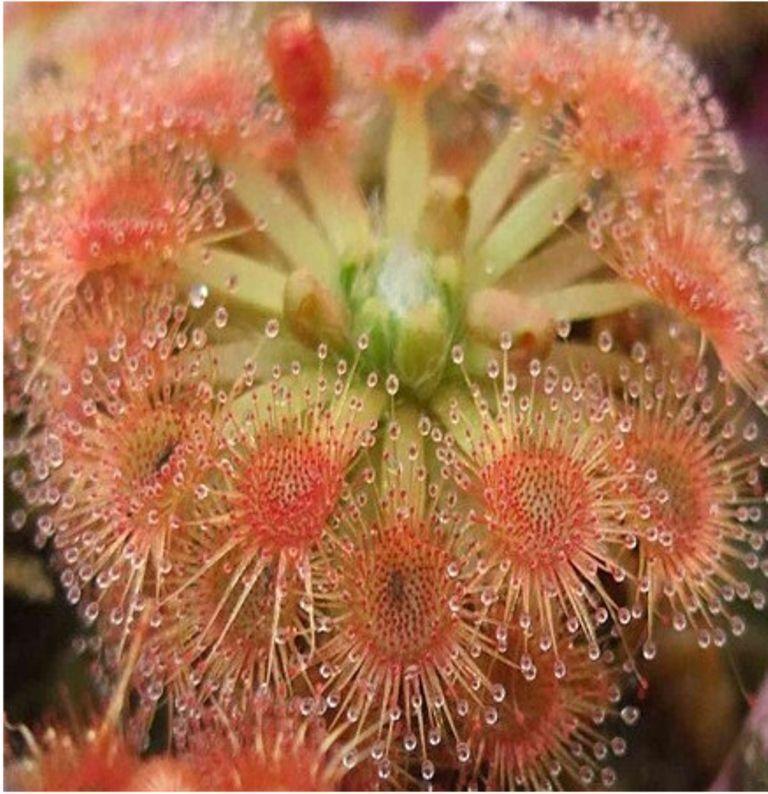 Bonsai Sundew Seeds Blue Enchantress Carnivorous Plant Table Pot Drosera Mix 100 Carnivorous Plants Plant Table Plants