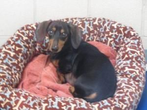 Adopt Argyle On Adoptable Dachshund Dog Terrier Mix Dogs Dachshund