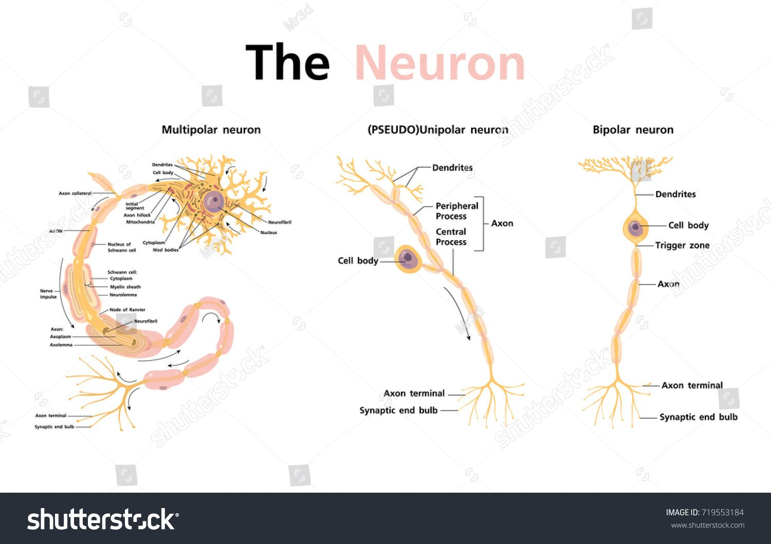Anatomy Nervous System and Neuron Classification vector ...