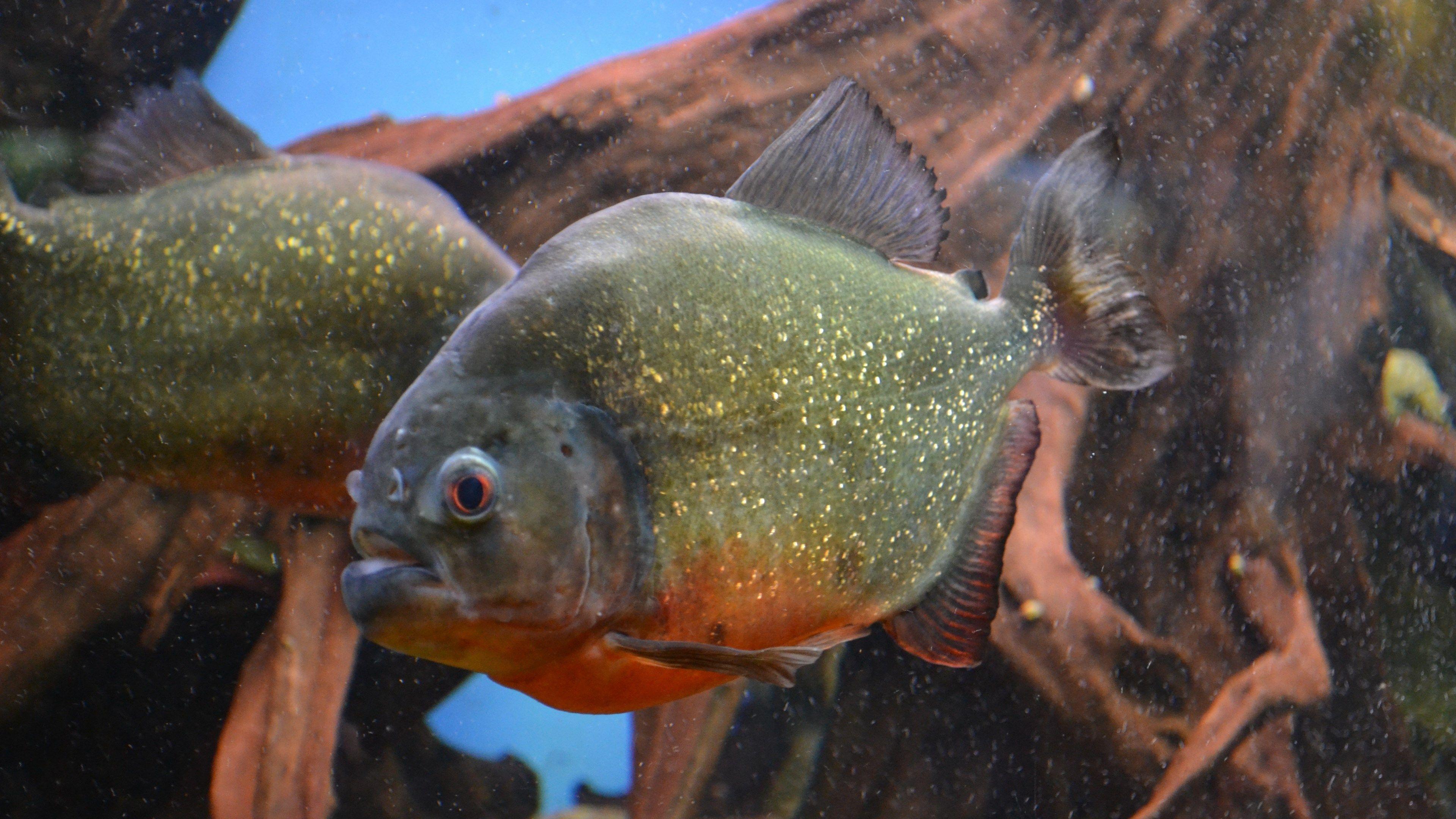 Free desktop piranha image, 2601 kB - Goode Gordon