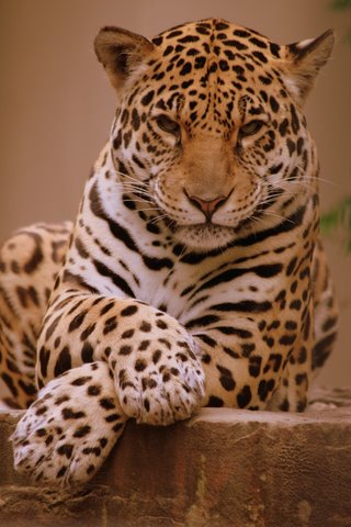 Known species of wild cats African wild cat, Wild cats