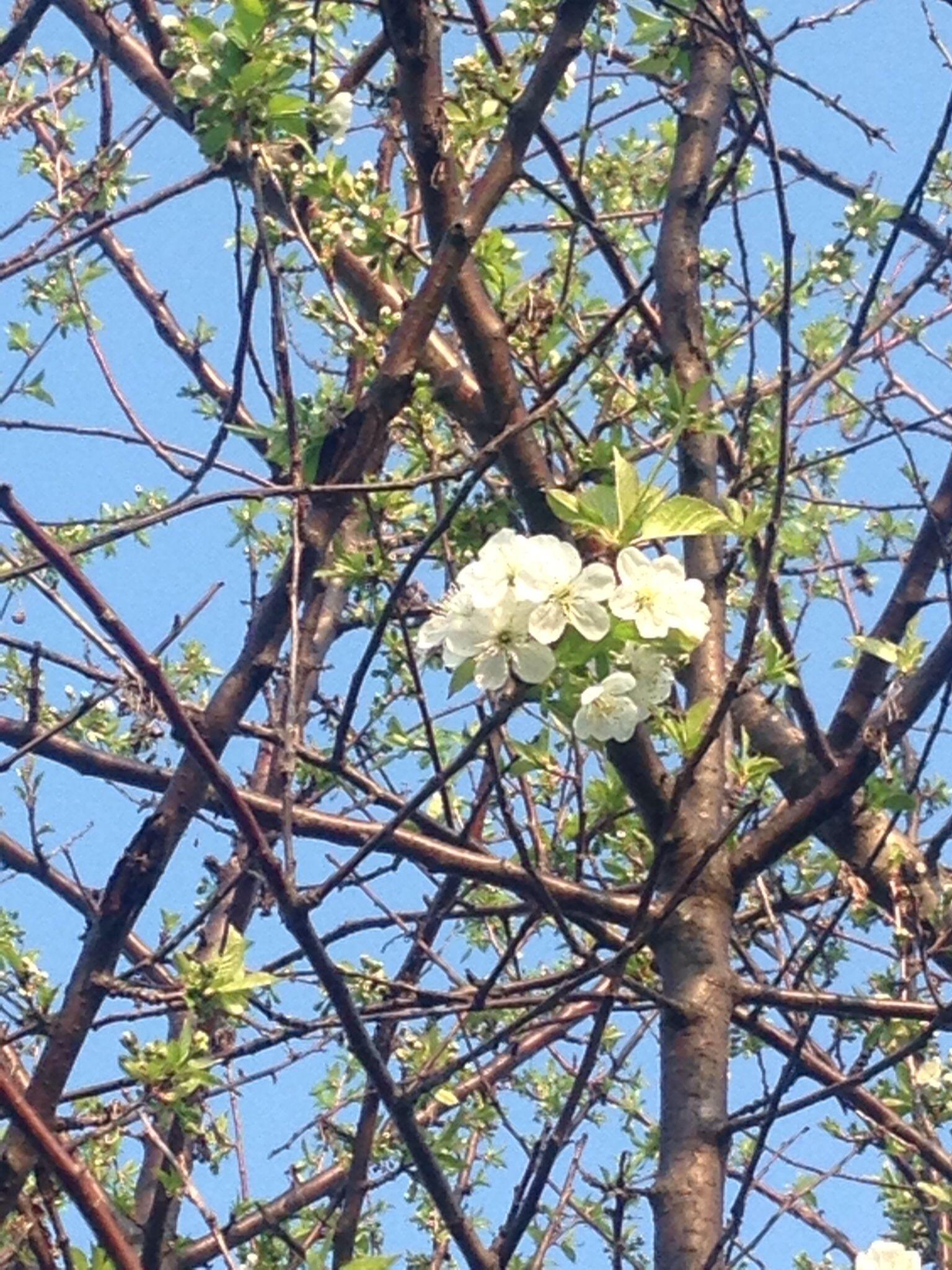 Or cherry tree bloomed cherryblossom zaza montour yard for Terrace trees