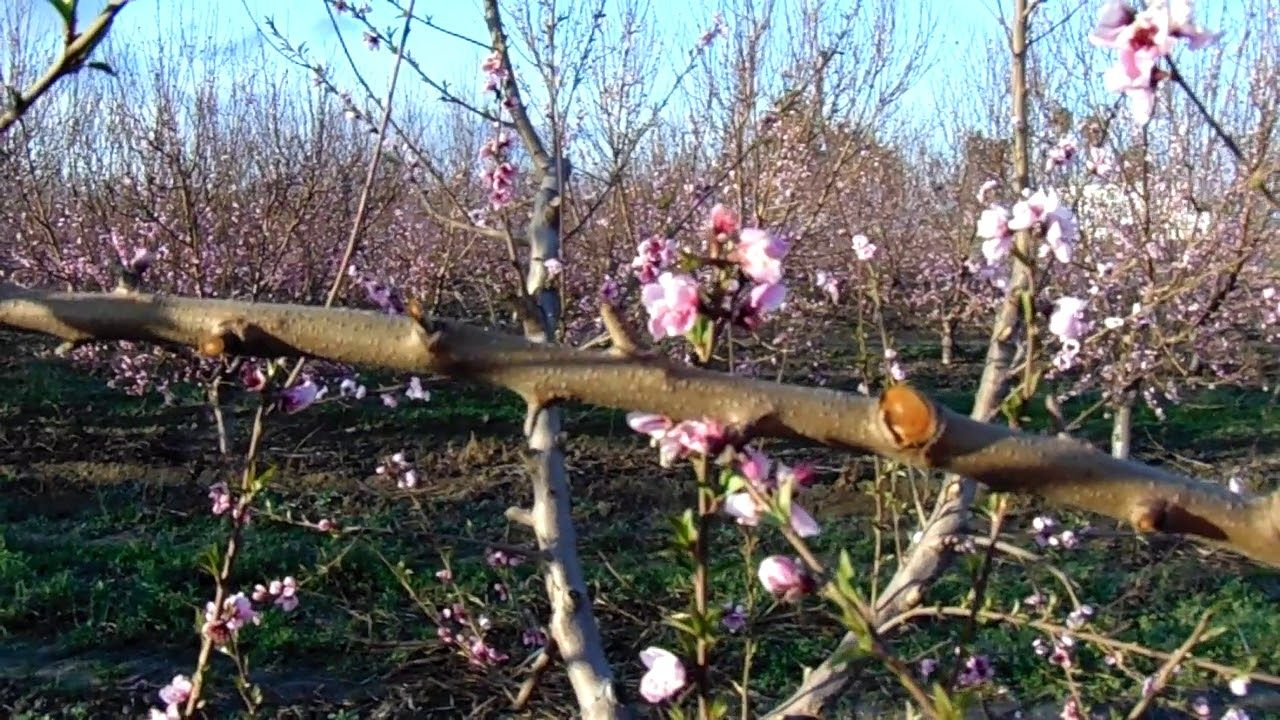 Peach Tree Pruning For High Yield Production Youtube Tree Pruning Peach Trees Pruning Peach Trees