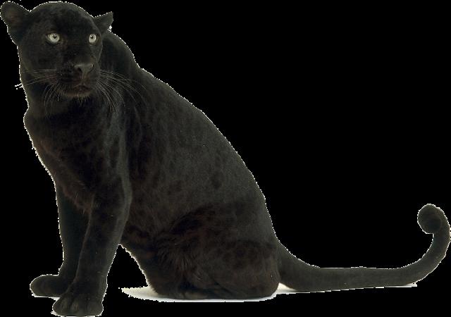 Black Leopard Images Leopard Cheetah Free Png Image Panther Black Panther Tiger Conservation