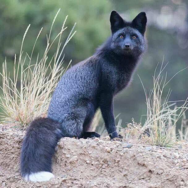 zorro negro