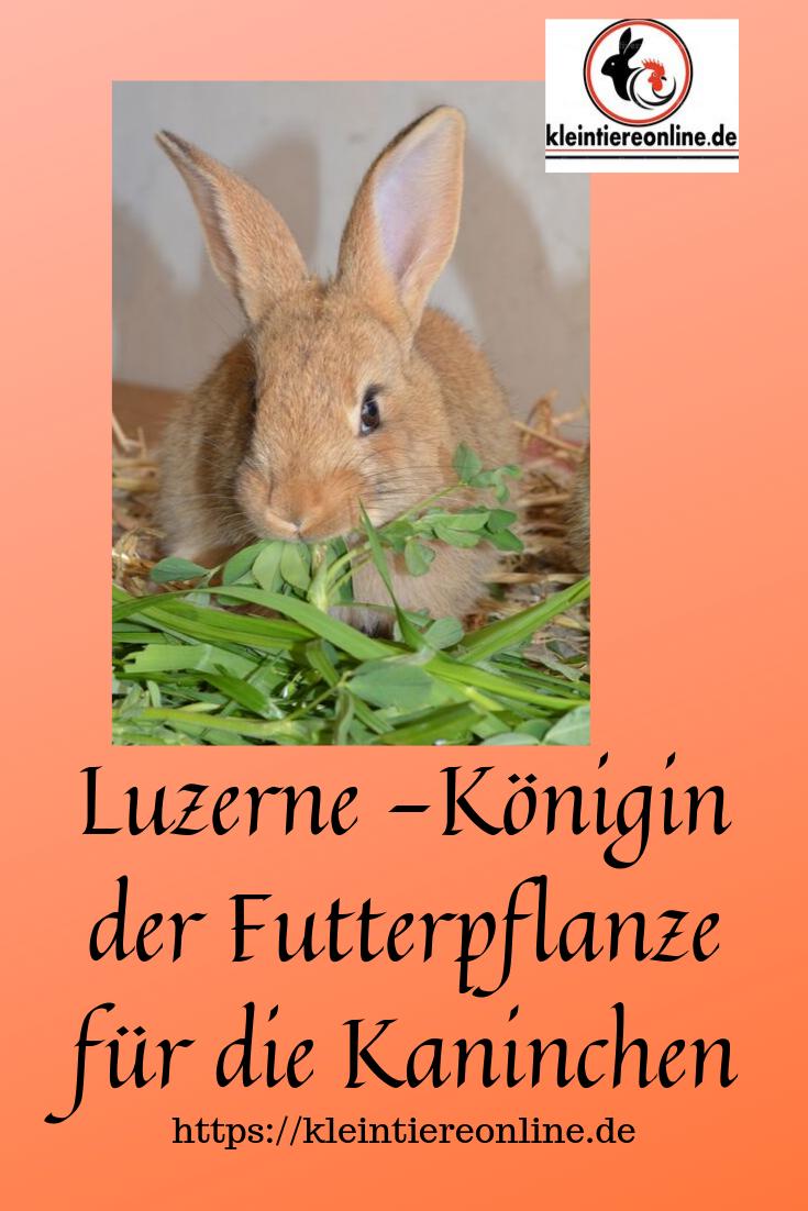 Luzerne Gehort In Jedes Kaninchenfutter Kaninchen Ernahrung Kaninchen Kaninchenfutter