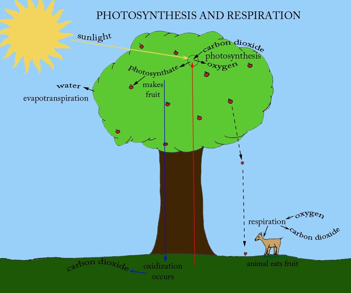 Photosynthesis Photosynthesis And Cellular Respiration Photosynthesis Lessons [ 1000 x 1200 Pixel ]