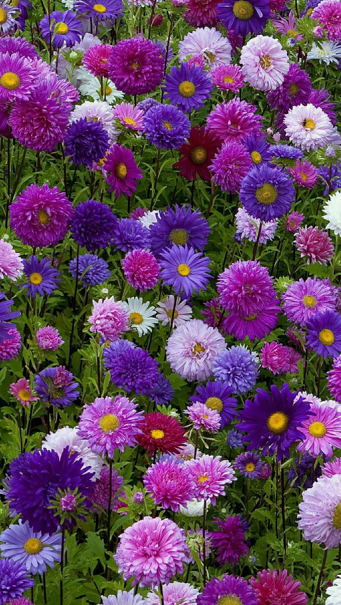 My Mother Loved Asters She Had Lots Growing In Her Garden Flowers Nature Beautiful Flowers Flower Garden