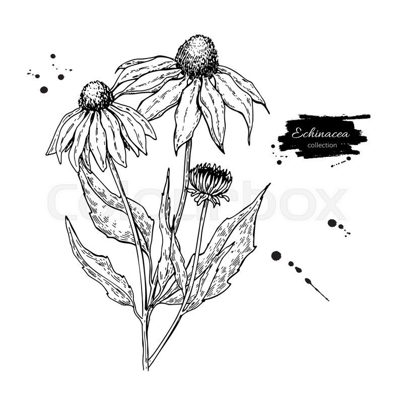 Image Result For Purple Coneflower Botanical Drawing Wildflower Drawing Aster Flower Tattoos Vector Drawing