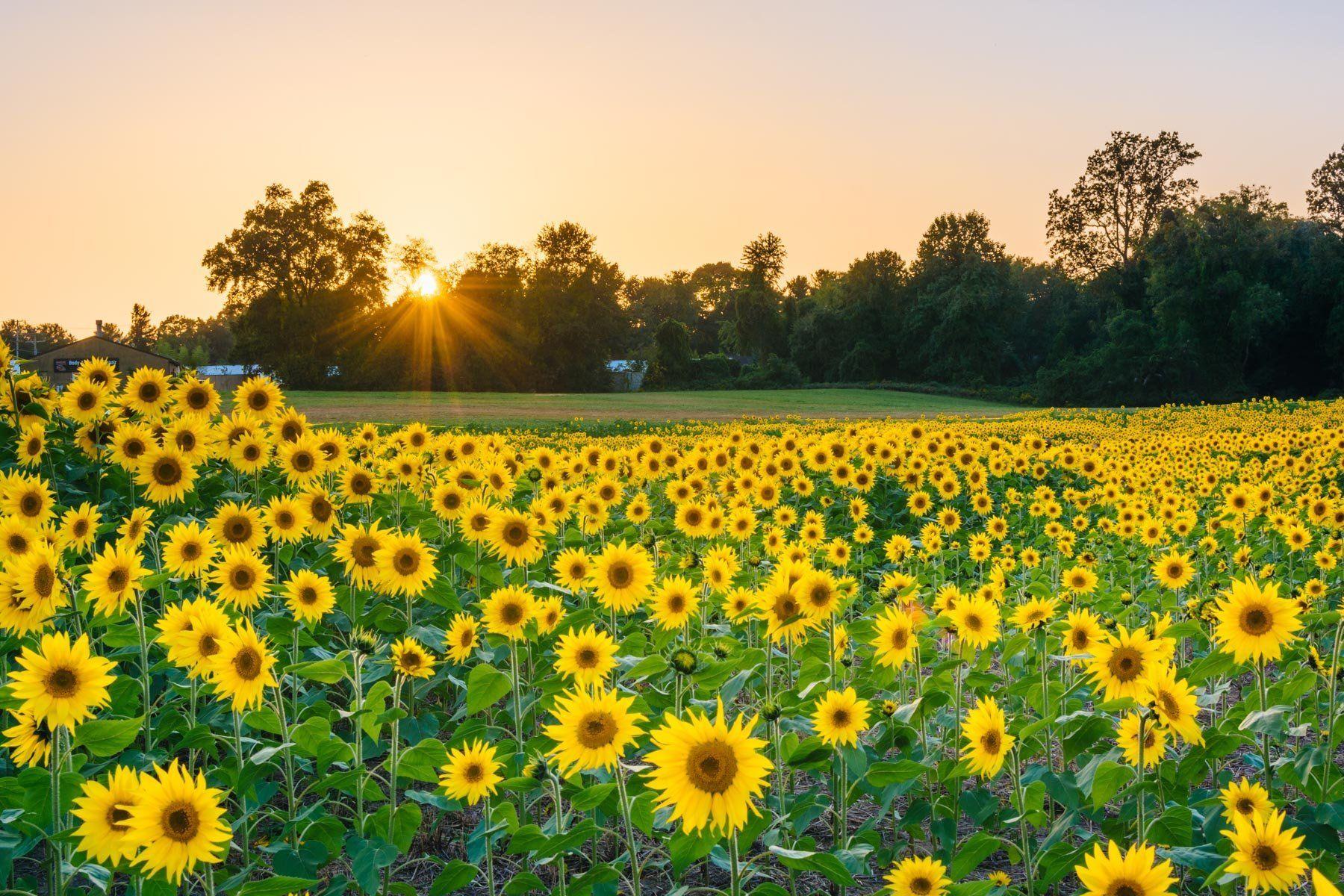 Sunflower field at sunset in Jarrettsville, Maryland. Photo Print on ...