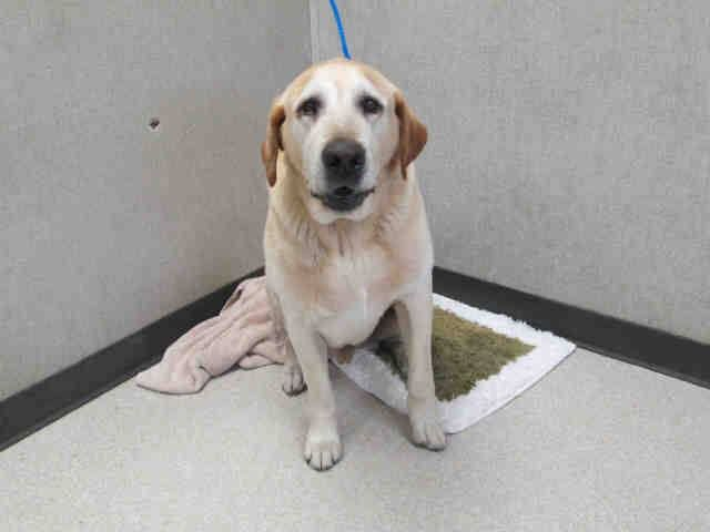 SAFE --- URGENT - Pet ID: A1305230   Sex: M  Age: 7 Years  Color: YELLOW   Breed: LABRADOR RETR   Kennel: 224   2/28/2014  www.ocpetinfo.com. OC Animal Care. 561 The City Drive South, Orange, CA. 92868 Telephone: 714.935.6848  https://www.facebook.com/photo.php?fbid=10153862558700223&set=a.10151287465740223.802367.315830505222&type=3&theater