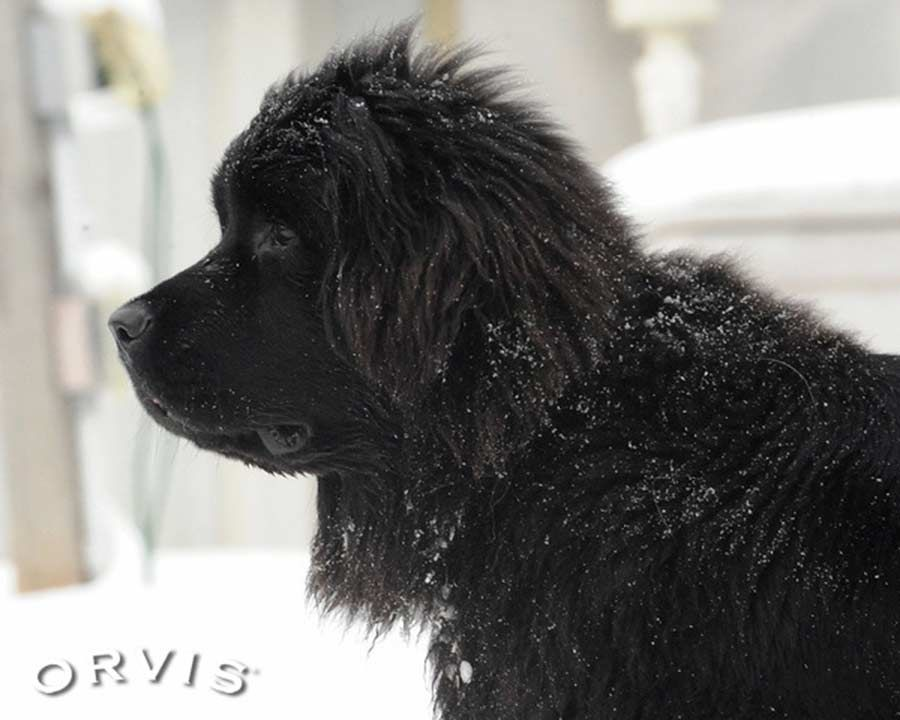 The Cold Coast Of Newfoundland Is The Origin Of Its Namesake Dog Breed The 7 Best Dog Breeds For Col In 2020 Newfoundland Dog Best Dog Breeds Brown Newfoundland Dog