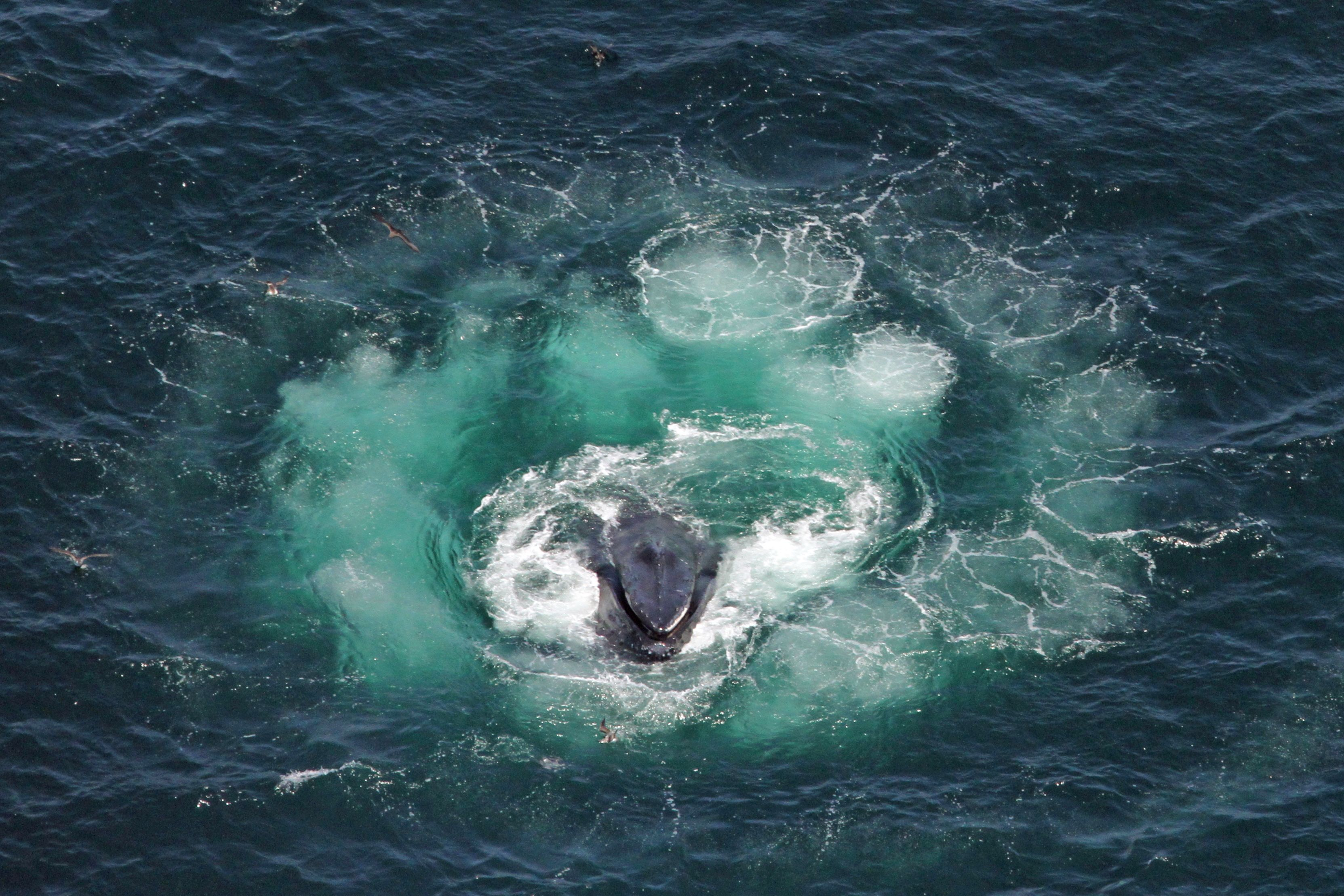 did you know humpback whales travel in pods or groups 2 15