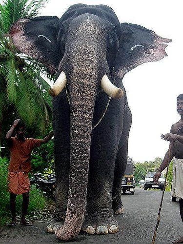Pampadi Rajan Gkamukan Flickr With Images Elephant