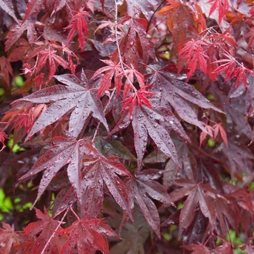 Bloodgood Japanese Maple | Blood Japanese Maple for Sale — PlantingTree.com #japanesemaple