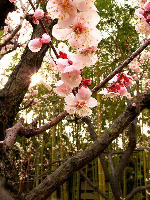 Ume Blossoms And Bamboo Peach Blossom Tree Japanese Plum Tree Blossom Trees
