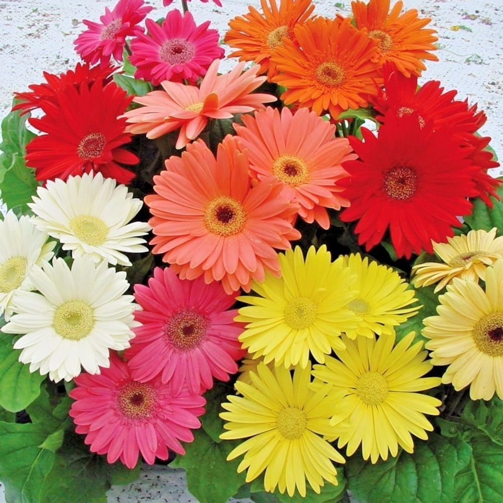 Gerbera daisy single flowered hybrids mix fabulous cut flowers 50 gerbera daisy single flowered hybrids mix fabulous cut flowers 100 bulk seeds unbranded izmirmasajfo