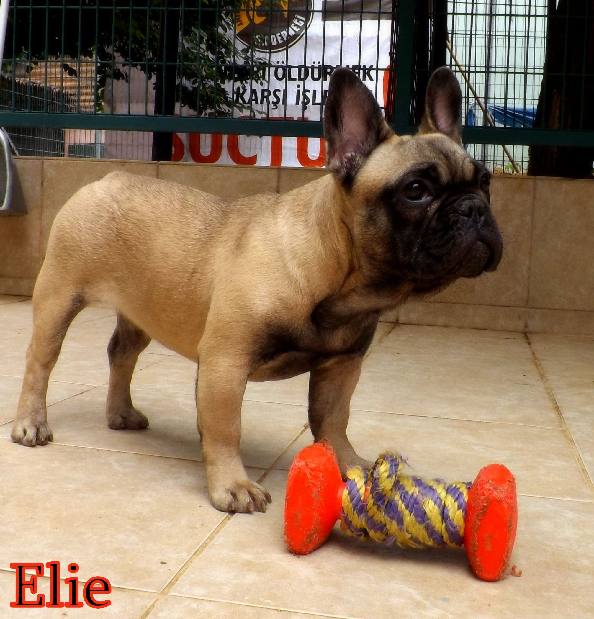 Elie, French Bulldog, 6 months old French bulldog