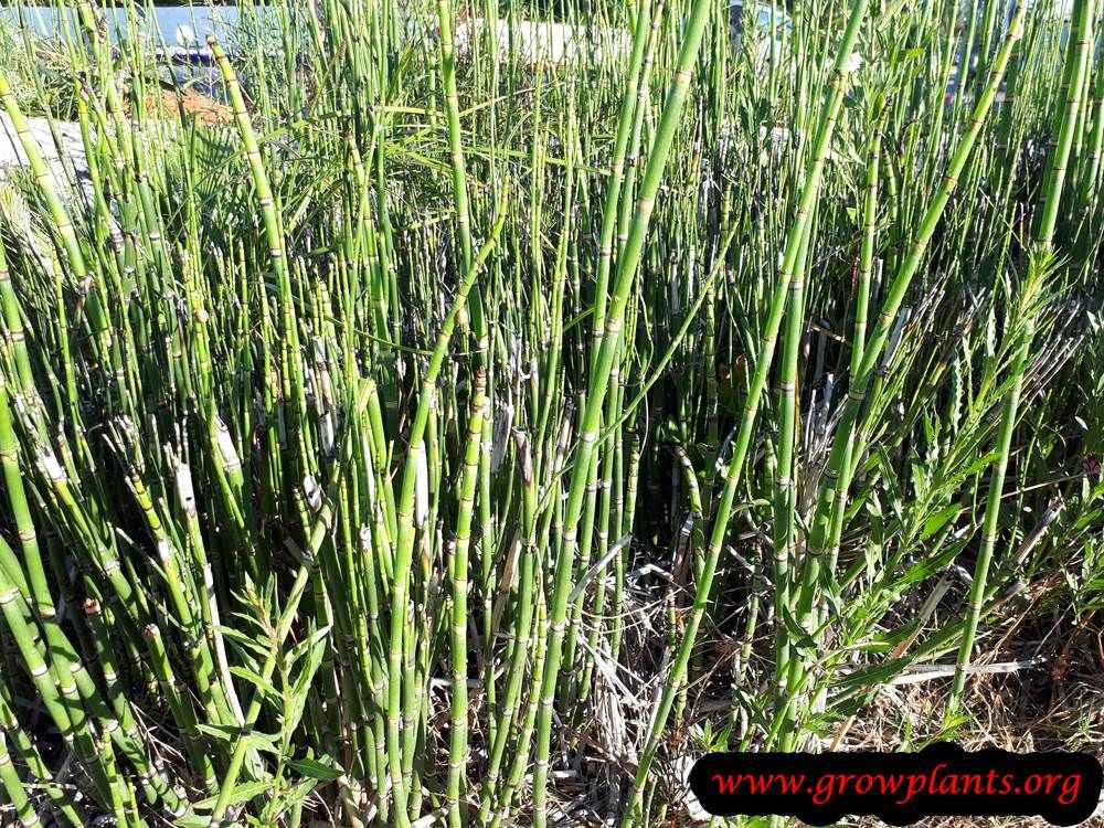 Photo of Horsetail plant – How to grow & care