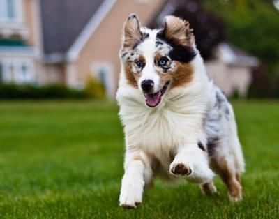 australian shepherd  http://www.out-and-about-with-your-dog.com/australian-shepherd-topaz1.html