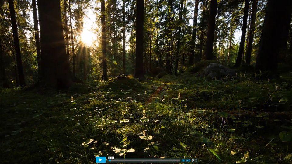 Kainuulainen metsämaisema, jossa aurinko pilkahtelee puiden takaa.