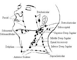 Ear Lymph Nodes Google Search Lymphatic Drainage Massage Lymph Massage Lymph Node Massage