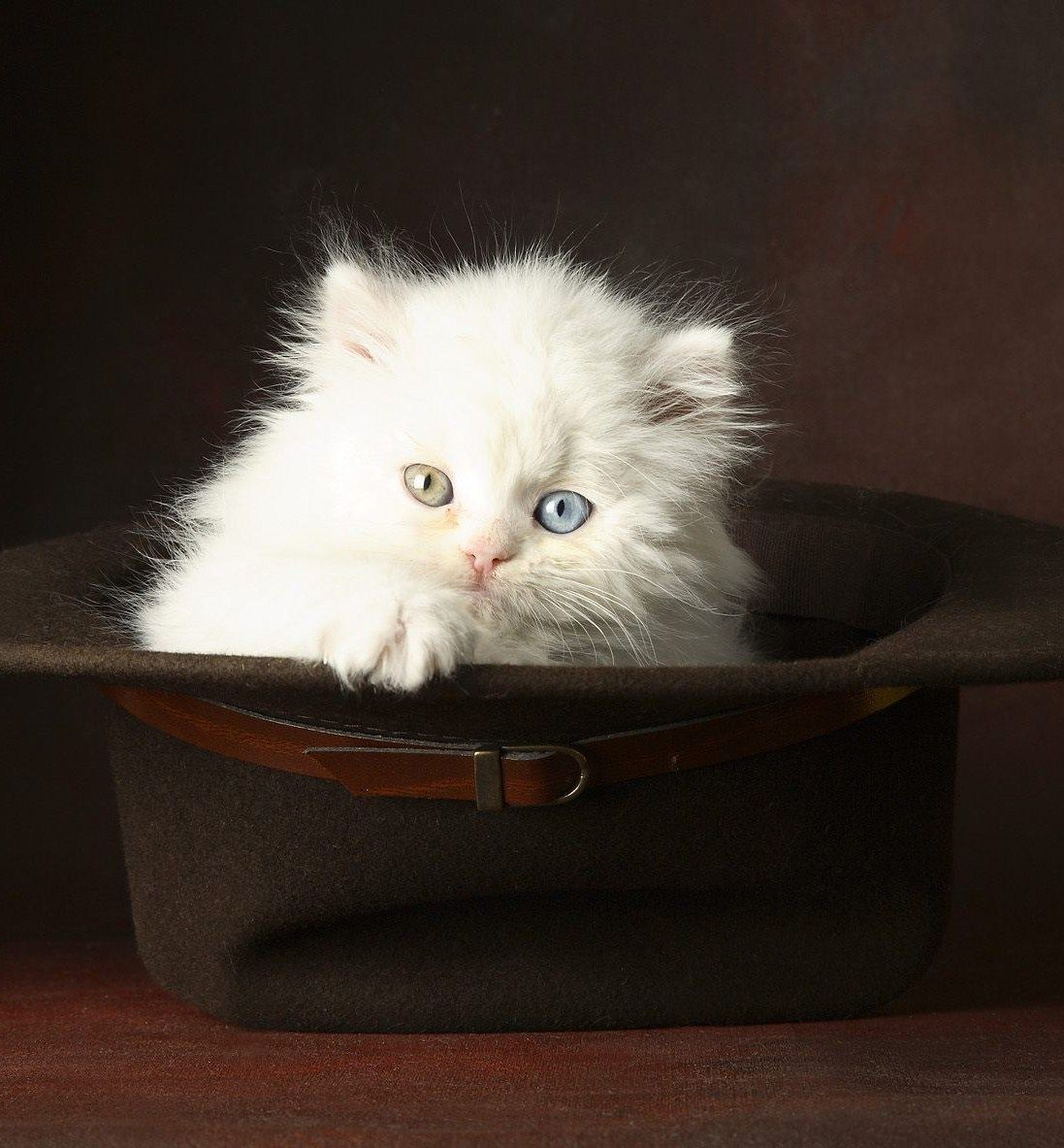 Cat In Hat White fluffy kittens, Kitten wallpaper, Cats
