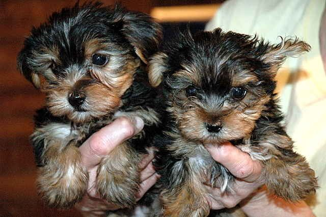 Two Cute Tiny Yorkie Puppies For Sale Adoption From Rio Rancho Nm