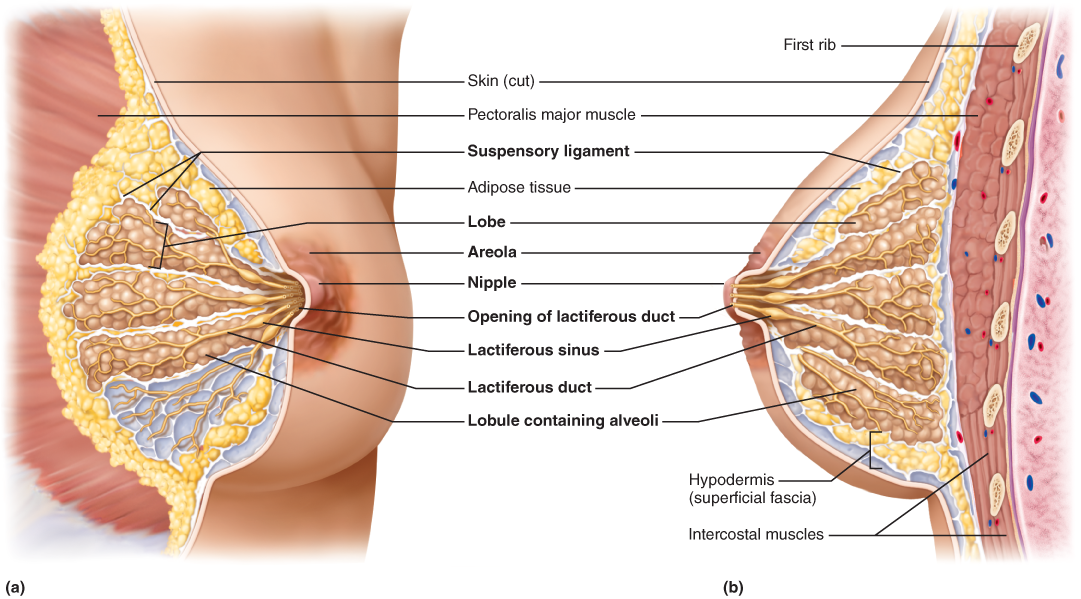 The Female Reproductive System   Anatomy   Pinterest