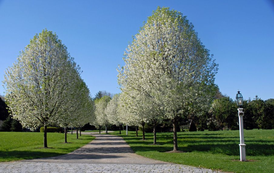 Spring Flowering Trees Ma Seoane Landscape Design Driveway Landscaping Landscape Design Flower Landscape