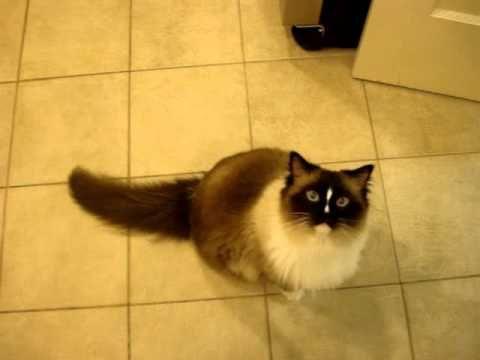 Ragdoll Cat Meowing Response to Ragdoll Kitten Meowing ねこ