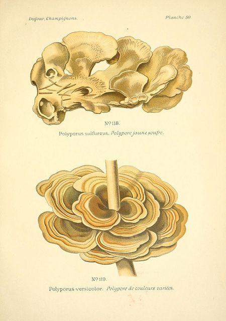 Atlas des champignons comestibles et vénéneux Paris,P. Klincksieck,1891. biodiversitylibrary.org/page/3270844