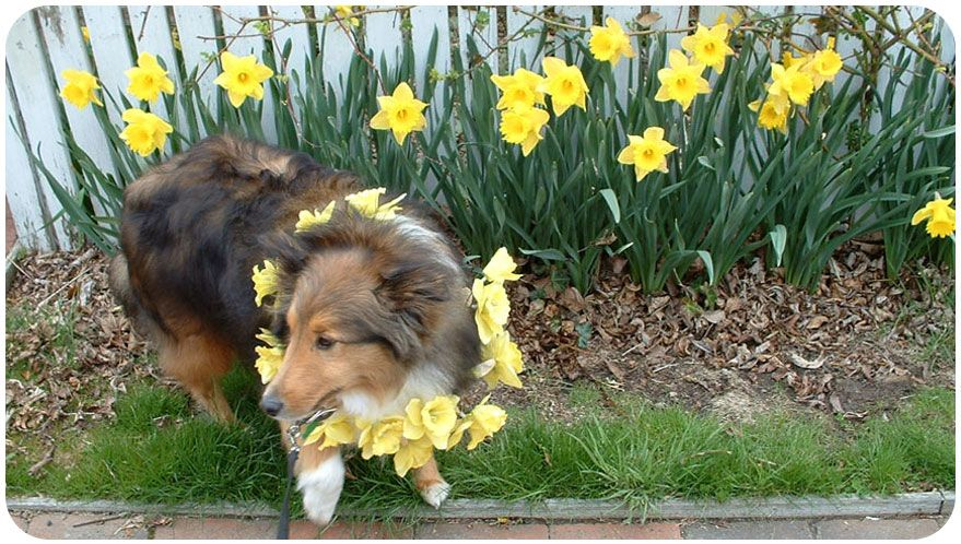 Daffodil Festival Events for 2015- Events will be added as info becomes available. Description from daffodilfestival.com. I searched for this on bing.com/images
