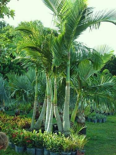 Bamboo Palm Tree Google Search Tropical Gardens