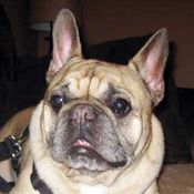 French Bulldog Rescue Network Bodacious In Ontario Bulldog