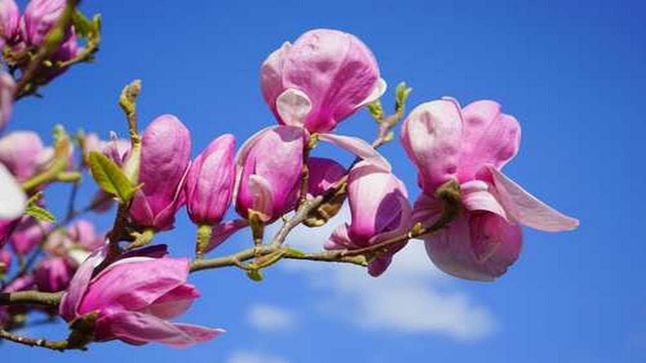 How To Propagate Magnolia Tree From Cuttings Magnolia Trees Gardening Tips Front Gardens