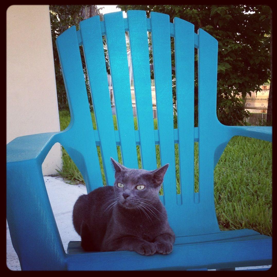 British shorthair Russian blue cat Russian Blues