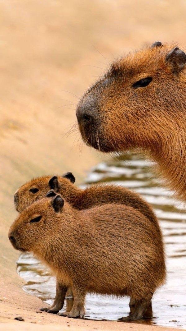 Capybara Animais selvagens, Capivara, Animais