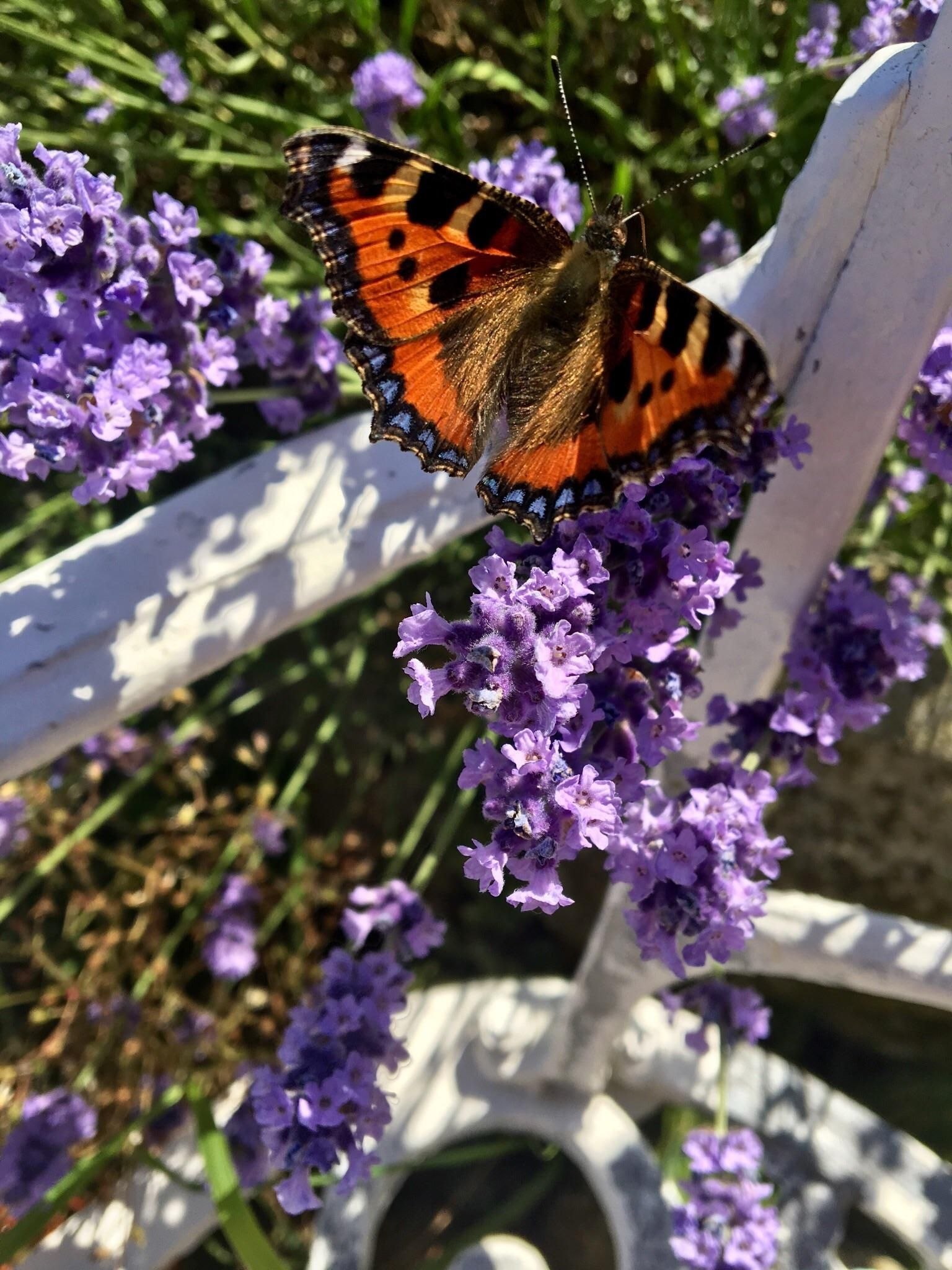 I watched this small tortoiseshell butterfly enjoying my