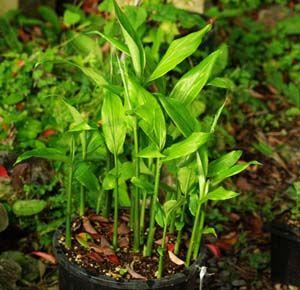 Ginger, Myoga (Zingiber mioga) potted plant, organic--TOP SIZE