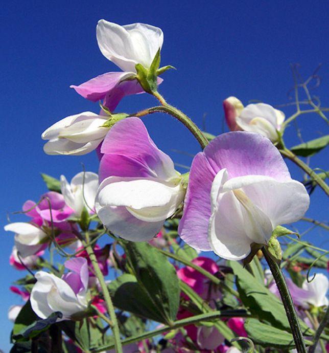 Картинки цветок душистый горошек