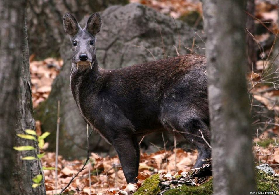 Rare deer with fangs first seen after 66 years   Observation of  Kashmiri moose, not seen since 1948, was cause for celebration among researchers. These reindeer are endangered after trophies because of their scent gland was used for perfume.