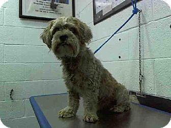 Miami Fl Lhasa Apso Mix Meet Lexi A Dog For Adoption Dog Adoption Rescue Puppies Kitten Adoption