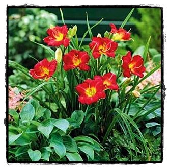 Image result for ruby stella daylily