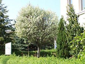 die kugelkirsche prunus fruticosa 39 globosa 39 prunus and flowers. Black Bedroom Furniture Sets. Home Design Ideas