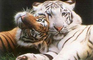 Ecopolis Disciplinas Integradas: Tigres en peligro de extinción