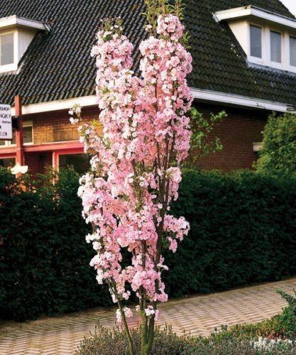 Japanese Amanogawa Pink Flowering Cherry 4 5ft Upright Growing Prunus Serrulata Ebay Bomentuin Tuin Kleine Bomen